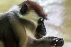 Seite nah oben auf Affen mit der Hand oben Lizenzfreies Stockbild