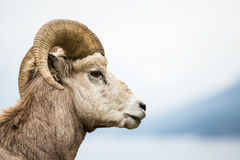 Seitenansicht Bighorn-Schafe Ram gegen grauen Hintergrund Lizenzfreies Stockbild