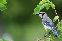 Seitenansicht Blue Jays Lizenzfreie Stockbilder