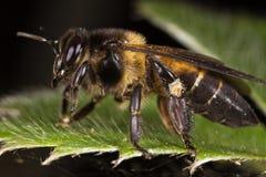 Seitenansicht der Biene Stockbild