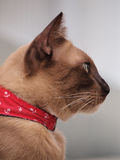 Seitenansicht der braunen Katze anstarrend zu etwas Stockfotografie