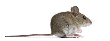 Seitenansicht der hölzernen Maus Stockbild