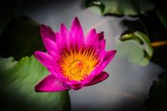 Seitenansicht, der Lotosblumen der Nahaufnahme rosa kleine Blüte Stockfoto