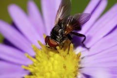 Seitenansicht der Nahaufnahme der kaukasischen schwarzen Blume fliegt graben Stockfotos
