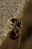 Seitenansicht der Nahaufnahme des kaukasischen Brauns gestreift von einer geflügelten Ameise Stockbild