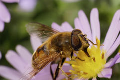 Seitenansicht der Nahaufnahme einer großen flaumigen Blume fliegt sind mit polle Lizenzfreie Stockbilder