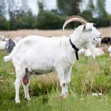 Seitenansicht der weißen Ziegengrößengleichnahaufnahme lizenzfreies stockbild