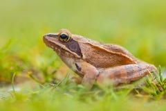 Seitenansicht des beweglichen Frosches (Rana-dalmatina) im Gras Lizenzfreies Stockbild