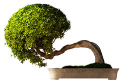Seitenansicht des Bonsaisbaums Stockbilder