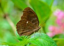 Seitenansicht des braunen Schmetterlinges hängend am grünen Blatt Stockbilder