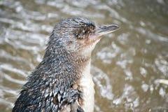 Seitenansicht des feenhaften Pinguins Lizenzfreies Stockfoto