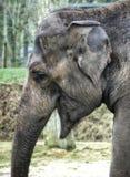 Seitenansicht des Gesichtes des afrikanischen Elefanten, mit seinem Mund offen lizenzfreie stockbilder