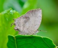 Seitenansicht des hellgrauen Schmetterlinges stehend auf grünem Blatt Stockfoto