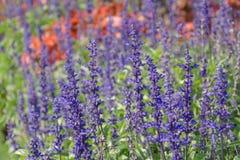 Seitenansicht des Lavendelpurpurs Stockfotos