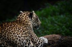 Seitenansicht des Leoparden Stockfotos