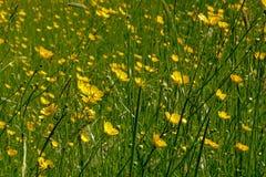 Seitenansicht des niedrigen Winkels über viele helle gelbe Butterblume blüht - Ranunculus bulbosus Lizenzfreies Stockfoto