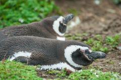 Seitenansicht des Pinguinlügens Stockbilder