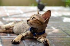 Seitenansicht des Schauens der getigerter Katze Stockfotografie