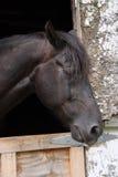 Seitenansicht des schwarzen Pferds Stockbild