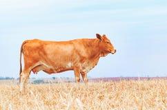 Seitenansicht einer braunen Kuh auf der Weide eines Bauernhofes Lizenzfreie Stockfotografie