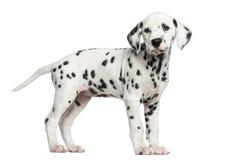 Seitenansicht einer dalmatinischen Welpenstellung, weg schauend, lokalisiert Lizenzfreies Stockfoto