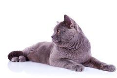 Seitenansicht einer großen englischen Katze Lizenzfreie Stockfotos