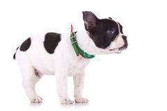 Seitenansicht einer netten und schüchternen französischen Bulldogge Lizenzfreies Stockfoto