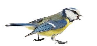 Seitenansicht einer pfeifenden Blaumeise, Cyanistes-caeruleus Lizenzfreie Stockfotos