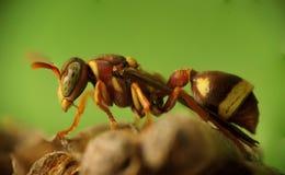 Seitenansicht einer Wespe lizenzfreie stockfotos