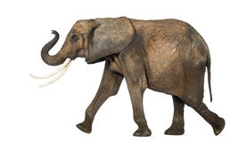 Seitenansicht eines afrikanischen Elefanten, der, lokalisiert durchführt Lizenzfreie Stockbilder
