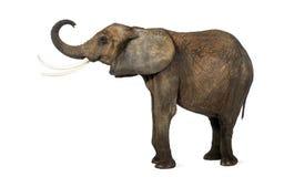 Seitenansicht eines afrikanischen Elefanten, der seinen Stamm, lokalisiert anhebt Lizenzfreie Stockfotografie