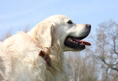 Seitenansicht eines Apportierhunds Stockbilder