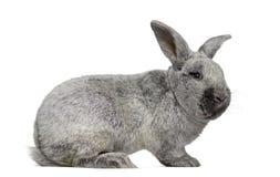 Seitenansicht eines Argente-Kaninchens Stockfotografie