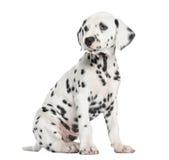 Seitenansicht eines dalmatinischen Welpensitzens, weg schauend, lokalisiert Lizenzfreie Stockfotografie