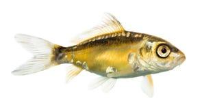 Seitenansicht eines gelben koi lizenzfreies stockfoto