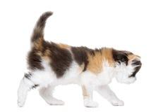 Seitenansicht eines geraden Kätzchens des Hochlands, das, lokalisiert geht Lizenzfreie Stockfotos