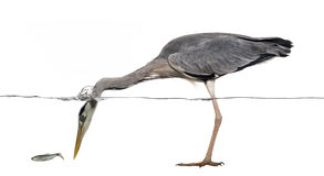 Seitenansicht eines Grey Heron-Fischens, Kopf unter Wasser Lizenzfreie Stockbilder