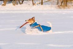 Seitenansicht eines Hundes, der mit Scheibe im Mund durch Schneefeld läuft Lizenzfreies Stockbild