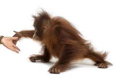 Seitenansicht eines jungen Bornean-Orang-Utans, der an der menschlichen Hand erreicht Stockfotografie