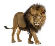 Seitenansicht eines Löwes, der, unten schauend, Panthera Löwe geht, 10 Jahre alt Lizenzfreie Stockbilder
