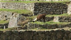 Seitenansicht eines Lamas, das an machu picchu weiden lässt stock video