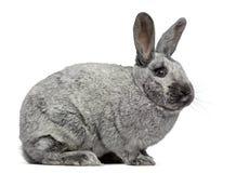 Seitenansicht eines netten Argente-Kaninchens Stockfoto