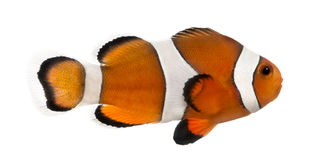 Seitenansicht eines Ocellaris-clownfish, Amphiprion ocellaris Stockbilder