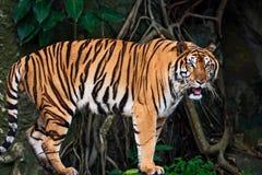 Seitenansicht eines Porträts des Tigers Lizenzfreie Stockfotografie