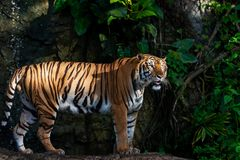 Seitenansicht eines Porträts des Tigers Lizenzfreies Stockbild