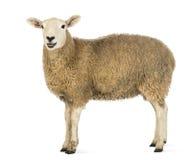 Seitenansicht eines Schafs, das Kamera betrachtet Stockbild
