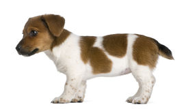 Seitenansicht eines Steckfassungsrussel-Terrierwelpen Stockfotografie
