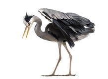 Seitenansicht eines Umkippens Grey Heron, unten schauend, Ardea cinerea Stockfotos