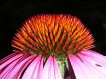 Seitenansicht-glänzende spitze Kegel-Blumen-Spitze Stockbilder