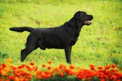 Seitenansicht Labradors Stockbild